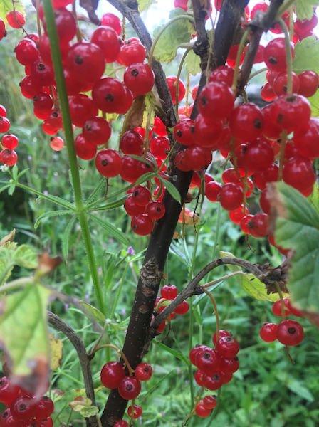 redcurrants-fresh-berries-home-grown-wild-fuschia-bakehouse-jams-chutneys-bakery-home-made-dunfanaghy-donegal-food-coast-ireland